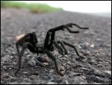 Tarantula in defense display