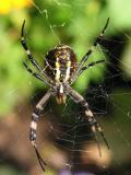 Wasp Spider Underside
