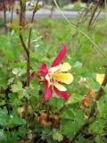 Red & Yellow Columbine