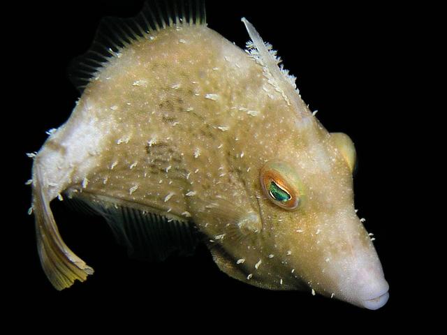 fringed filefish