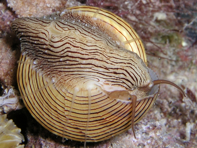 chocolate lined top snail