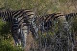 Zebras in Pilanesberg Park, South Africa