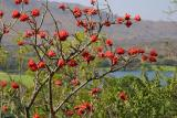 Don't know what these red-flowering tree is called (no leaves)
