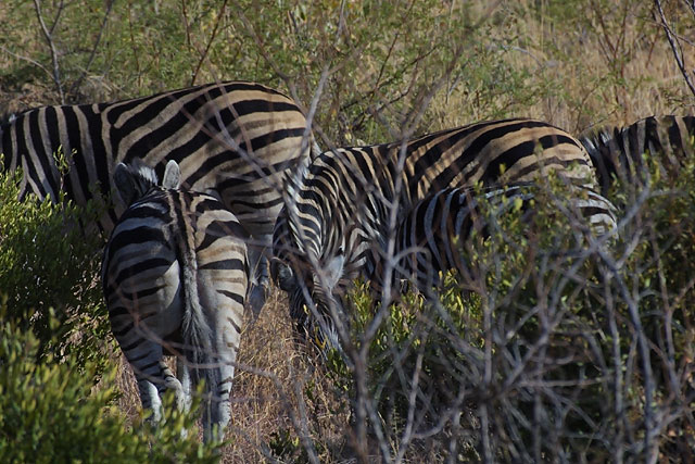 Zebras in Pilanesberg Park, South Africa