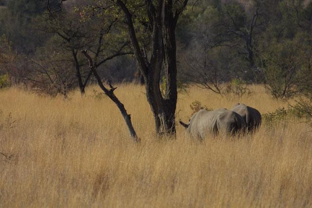 Rhinos in tall grass