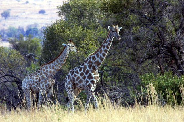 These are female giraffes