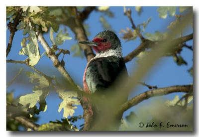 Lewis Woodpecker