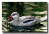 White-cheeked Pintail
