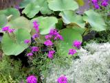 July11_Lotus companions