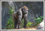 Gorilla - CRW_0556 copy.jpg