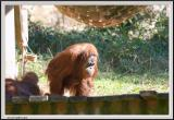 Orangatang - CRW_0558 copy.jpg