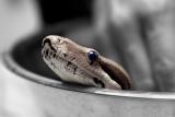 A Snake in the Bath III