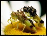 Jagged Ambush Bugs (Phymata erosa)