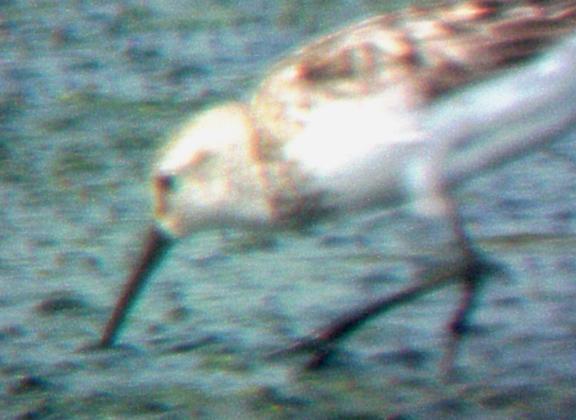 Ensley - 7-24-04 Female Western Sandpiper