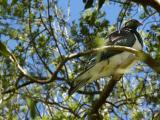 22 Nov 04 - New Zealand Pigeon