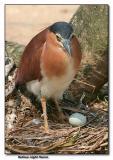 Rufous Night Heron and egg!