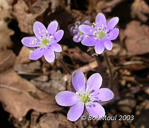 Hepatica Flower-N