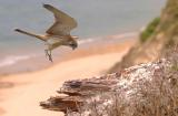 Kestrel about to land at Long Reef