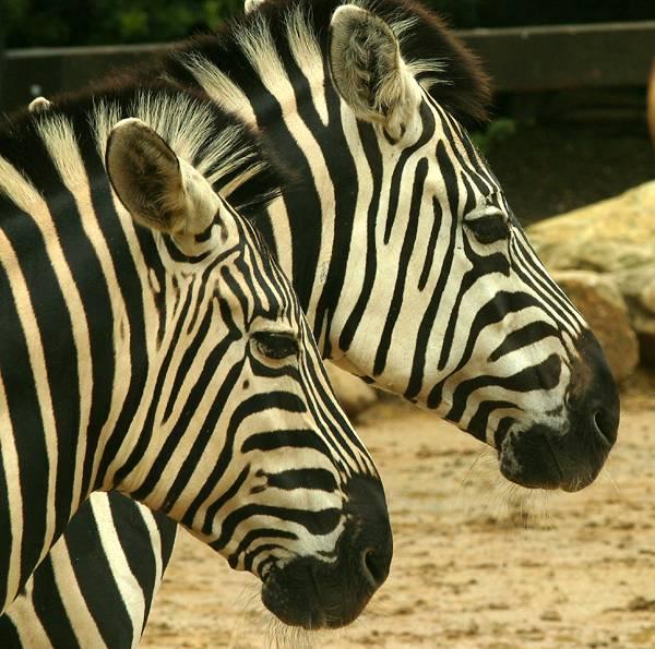 Zebras faces