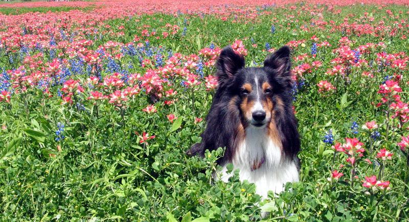 Jake the Wonder Dog amongst the bluebonnets/paint brushes