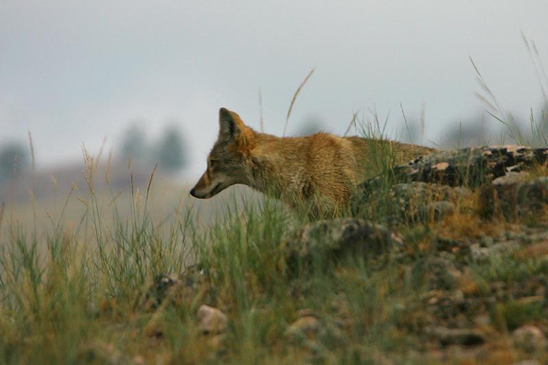 Coyote 210