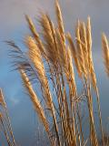 Pampas grass in late afternoon sun