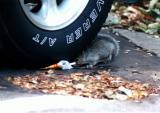 Milwaukee::Squirrel 2
