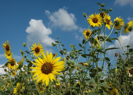 Sunflowers Pocatello Aug 2004 DSC_0034.jpg