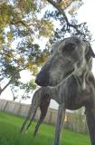 Wide Angle Greyhound