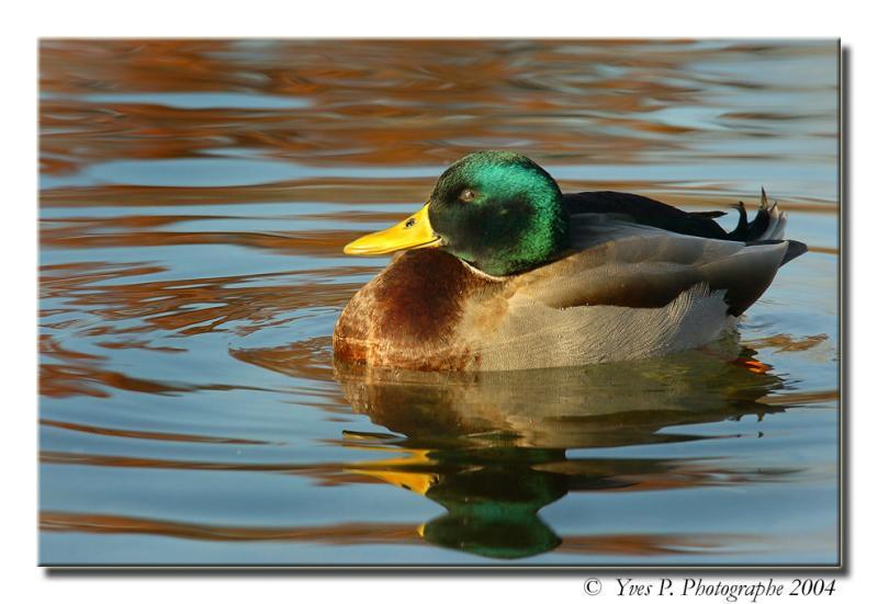 Mornin Duck ...
