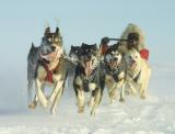 Sprint racing on the frozen Chukchi Sea