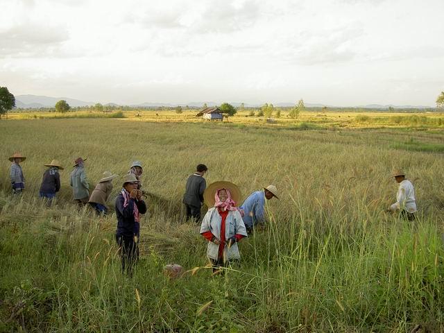 Hardworking farmer at Phaya Meng Rai paddy field
