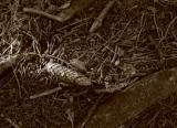 Forest Floor in Sepia.jpg