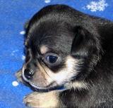 Lookin' like a Chihuahua