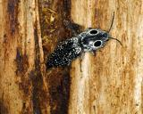 12654 Eastern Eyed Click Beetle--laying eggs