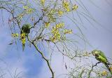 Two parrots in Our Jerusalem Thorn.jpg
