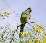 Single Parrot in Jerusalem Thorn.jpg