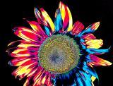 Sunflower One