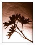 November 24 2004:  Flower in Silhouette