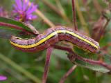 Aster caterpillar