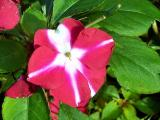 Impatiens (Busy Lizzy)