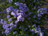 Ceanothus In Full Flower