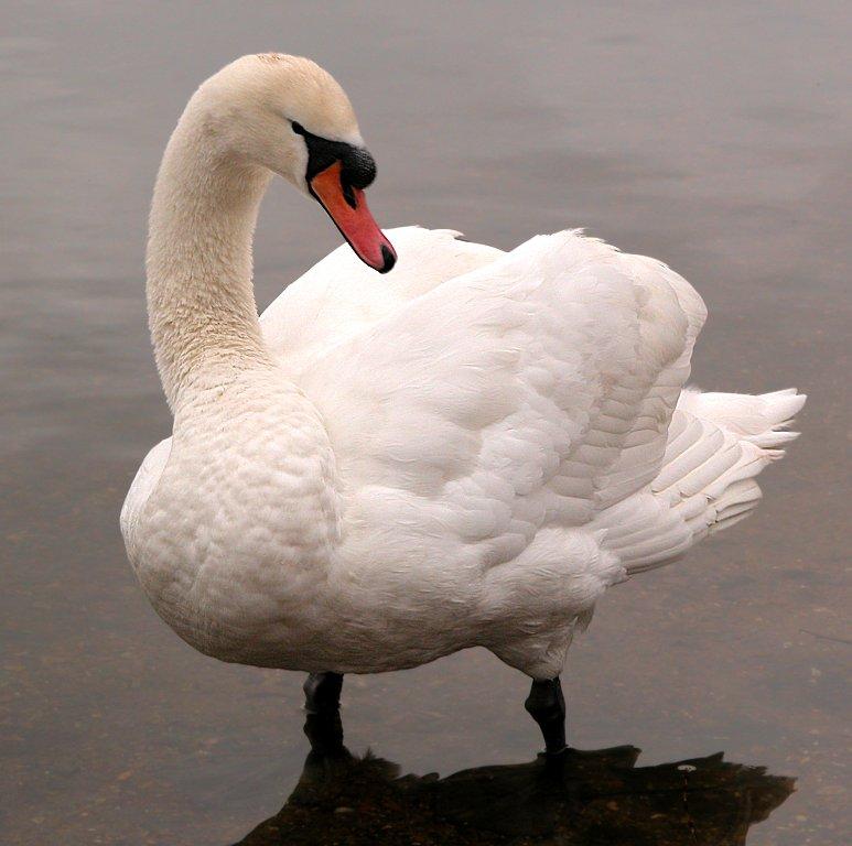 Paddling Swan