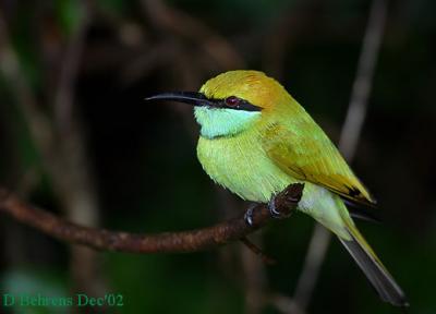Little-Green-Bee-eater.jpg