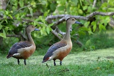 Lesser-Whistling-Ducks-2.jpg