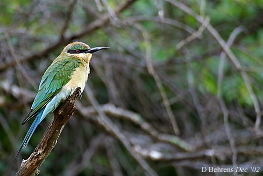 Blue-tail-Bee-eater-Juv.jpg