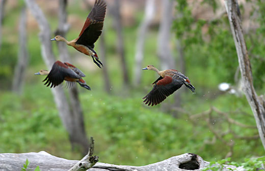 Lesser-Whistling-Ducks.jpg