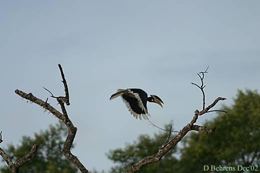 Malibar-Pied-Hornbill.jpg