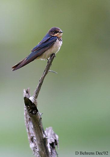 Barn-Swallow.jpg