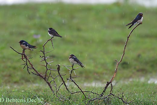 Barn-Swallows.jpg